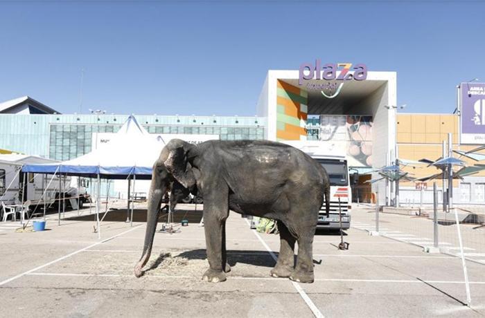 Dumba es utilizada una vez más en un circo en Zaragoza