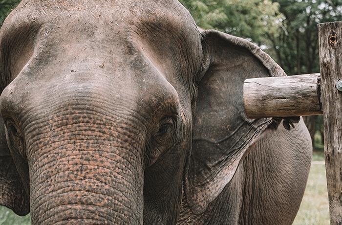 Elefantes explotados en el turismo y COVID-19: una tragedia anunciada