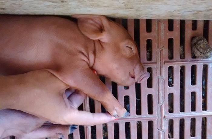 Daños colaterales de la COVID-19: animales destinados al consumo