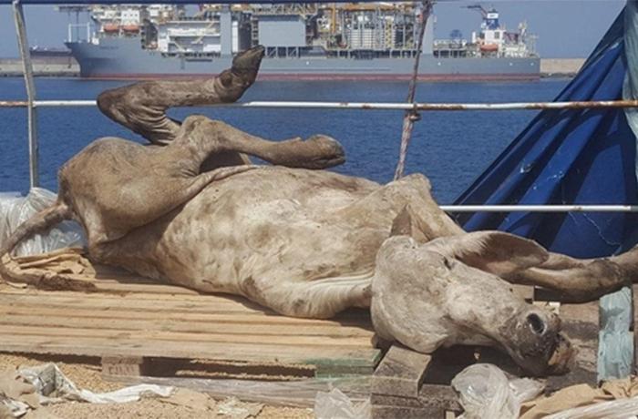 Miles de vacas encontradas en terribles condiciones en un barco atracado en el puerto de Las Palmas