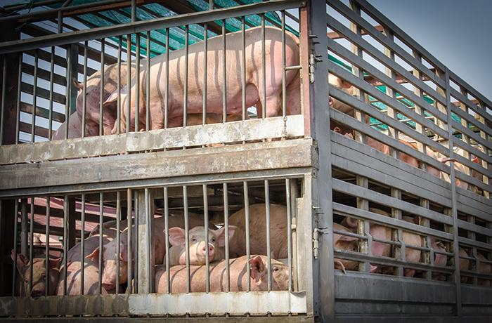 Una comisión del Parlamento Europeo investigará el transporte de animales vivos