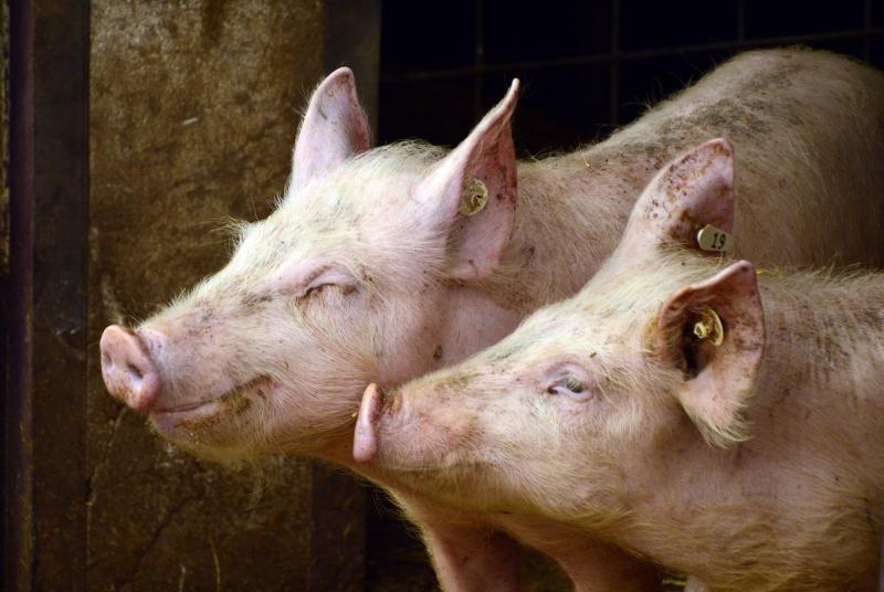 Una nueva cepa de gripe porcina podría transmitirse a humanos