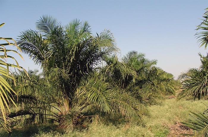 La cara oculta del aceite de palma