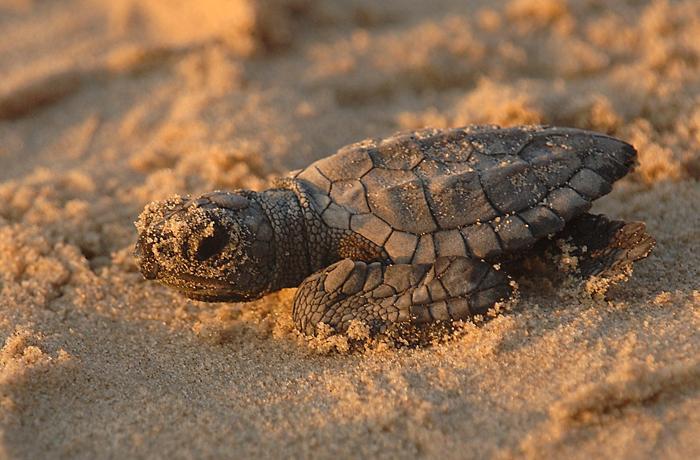 Porqué no hay que tocar nunca los huevos de tortugas marinas