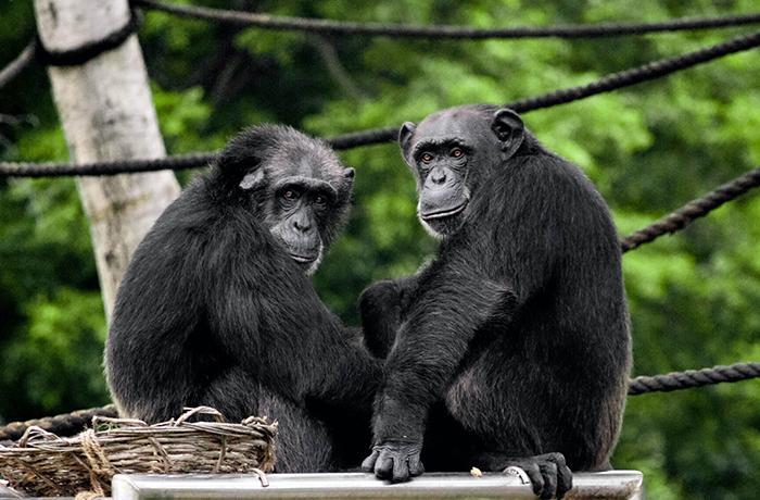 Matan a tiros a dos chimpancés que intentaban huir de un zoo de Holanda