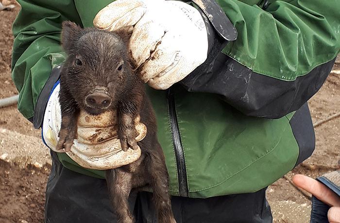 El Ayuntamiento de Cunit mantiene con vida a los cerdos vietnamitas después de 3 años
