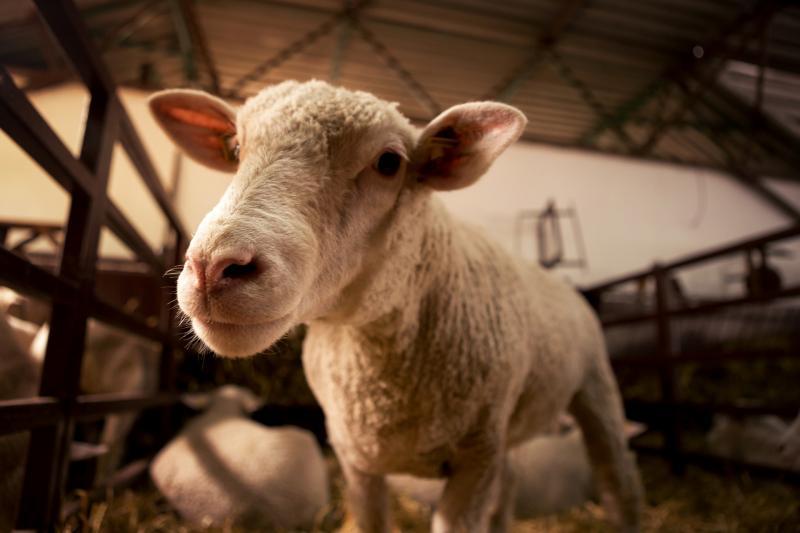 El Tribunal de Justicia de la UE confirma el derecho de los Estados miembros a introducir el aturdimiento previo al sacrificio de animales