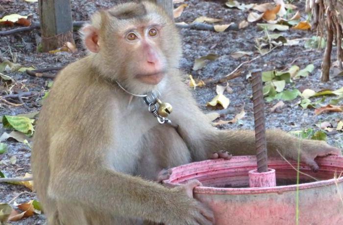 En Tailandia se siguen explotando monos para la recolección del coco