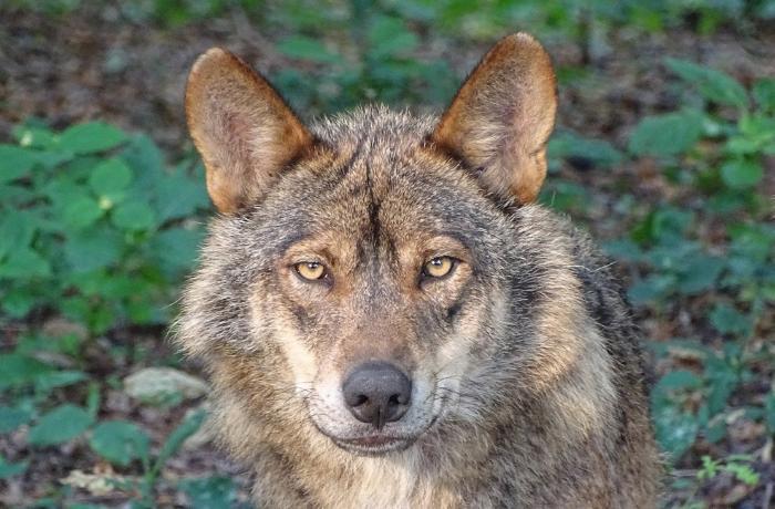 España prohibirá la caza del lobo