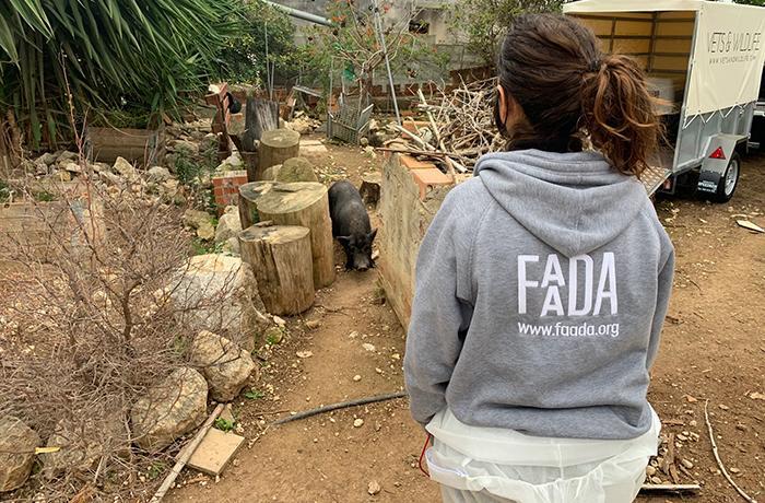 Reubicamos a los cerdos de Cunit después de 3 años de complicaciones