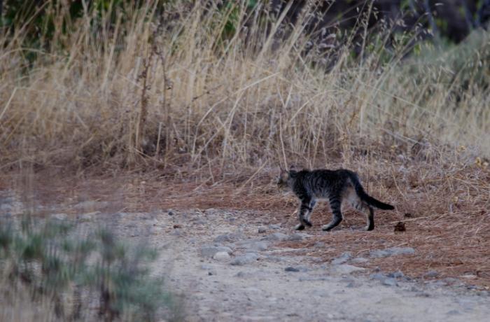 La futura Ley Canaria de Biodiversidad incluye a los gatos como especie cinegética