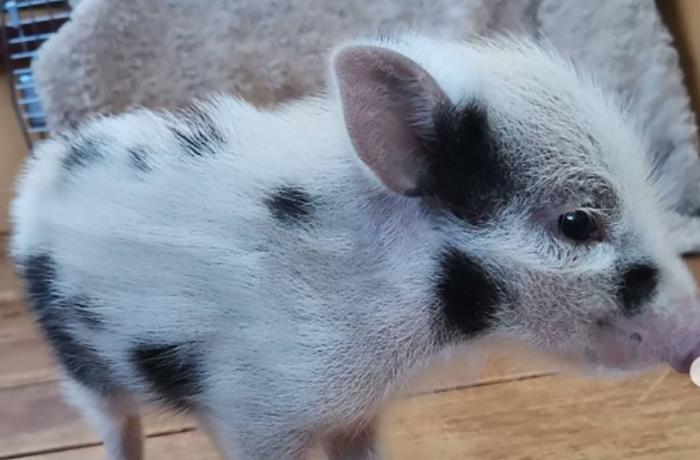 Gracias a la colaboración del Ayuntamiento de Tiana rescatamos al cerdolí Rambo