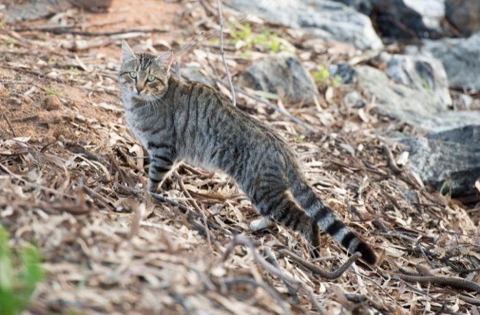 El Consell Comarcal del Alt Empordà dejará de hacer test de inmunodeficiencia felina y leucemia