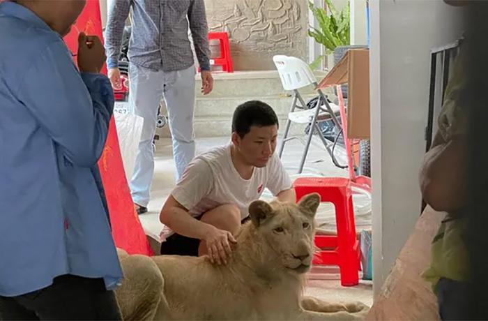 Decomisan un león que había sido mutilado para vídeos de TikTok