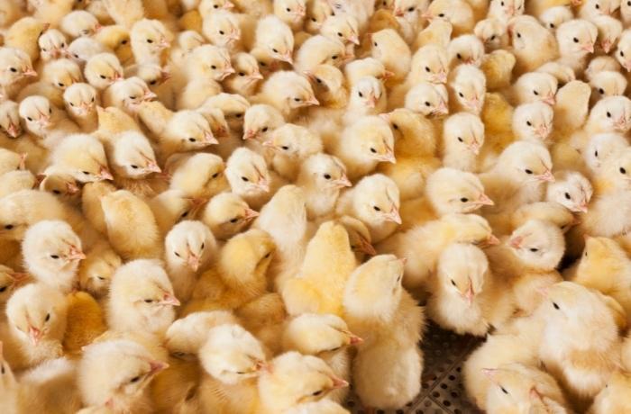 Francia prohibirá el sacrificio de pollitos macho