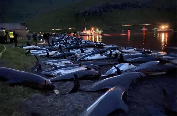 Matanza de delfines en las Islas Feroe: la presión internacional logra una primera reacción del Gobierno