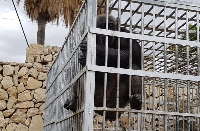 Tomaremos medidas legales contra el Ayto. de El Campello por no incoar expediente sancionador ante la tenencia irregular de la chimpancé Suzie