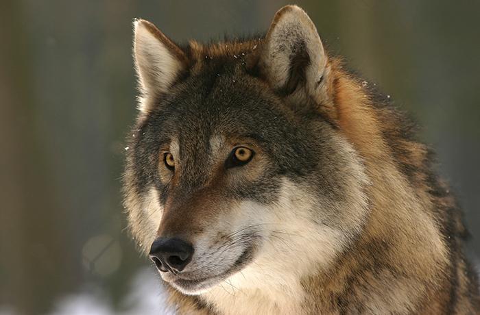 La caza del lobo ya está oficialmente prohibida en toda España