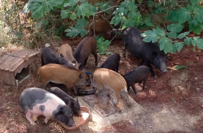El Ayuntamiento de Olesa de Montserrat rechaza realizar la gestión ética de una colonia de cerdos vietnamitas