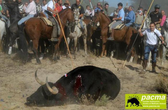 Tordesillas celebra una de las mayores atrocidades contra los animales