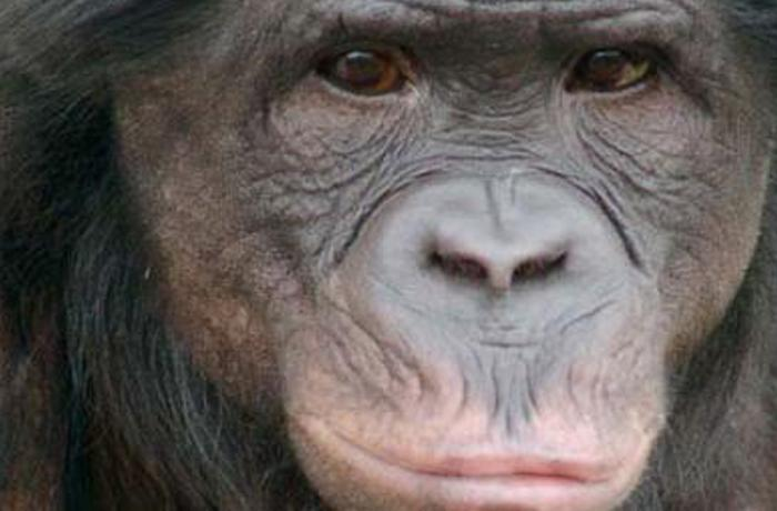 Iowa Primate Learning Sanctuary (IPLS) necesita apoyo para acoger a chimpancés usados en experimentación