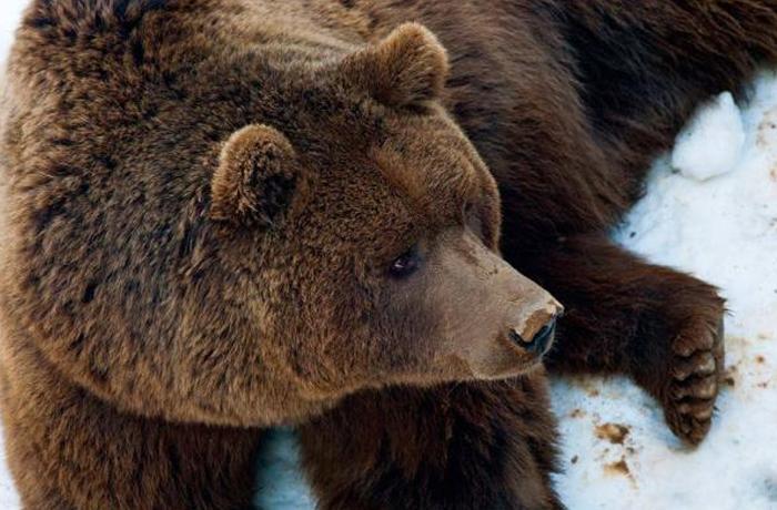 Los osos de Proambiente ya deambulan felizmente por su nuevo hogar