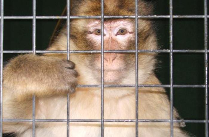 Sigue la moda de tener macacos