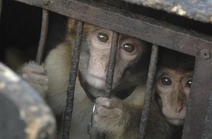 Grupos de defensa animal alertan: el macaco de Berbería en grave peligro de extinción