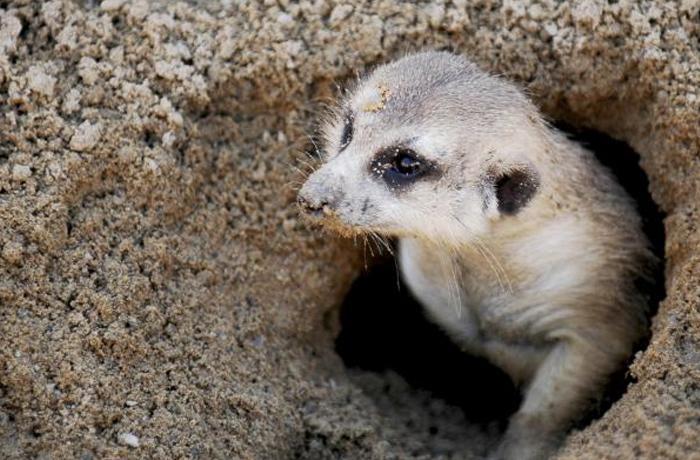 La nueva moda del mascotismo, el suricata