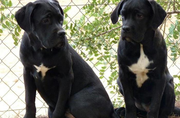 Reubicados 7 cachorros de cane corso procedentes de un criador ilegal