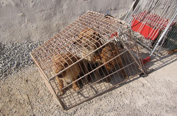 Pedimos a la UE que acabe con el tráfico ilegal de cachorros